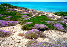 Wild flowers by the beach in Puglia