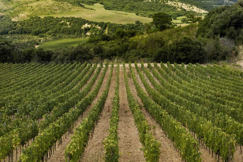 Vineyards around Castello di Velona in Tuscany