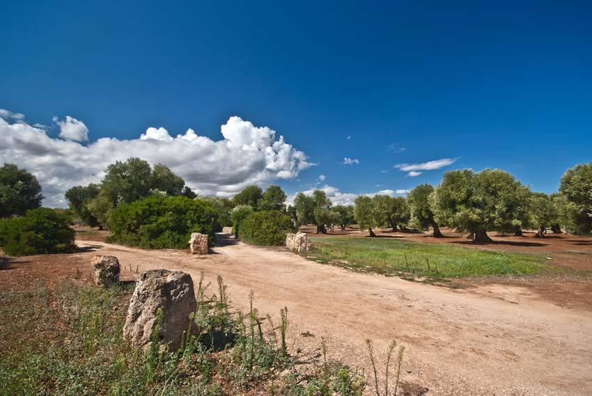 Olive groves in Puglia